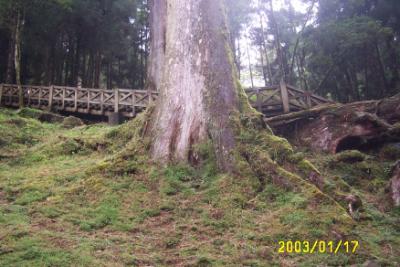 阿里山森林002