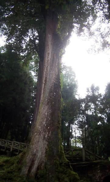 阿里山森林003